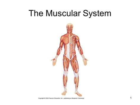 Muscular System Images The Muscular System Ppt
