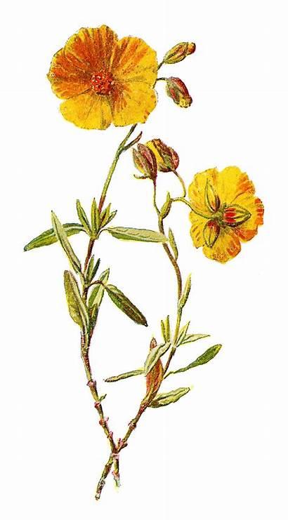 Rock Flower Rose Clipart Clip Wild Illustrations
