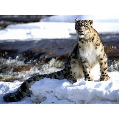 Snow LeopardAnimal Wildlife