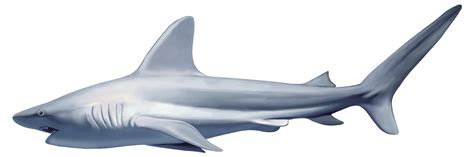 Shark Clip Great White Shark Clipart Fast Animal Pencil And In