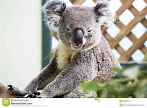 Smiling koala stock photo. Image of life, mamals, koalas ...