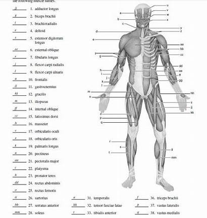 Muscle Diagram Blank Label Human Physiology Muscles