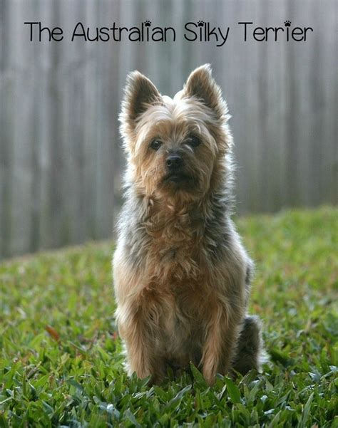 Dogs That Dont Shed Australia by The Australian Silky Terrier Hypoallergenic Breed