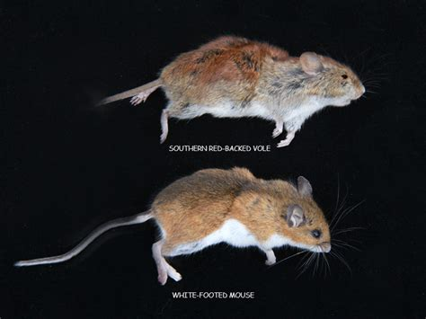 rat vs mouse deer mouse naturally curious with mary holland