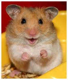 Cute Syrian Hamster - Viewing Gallery