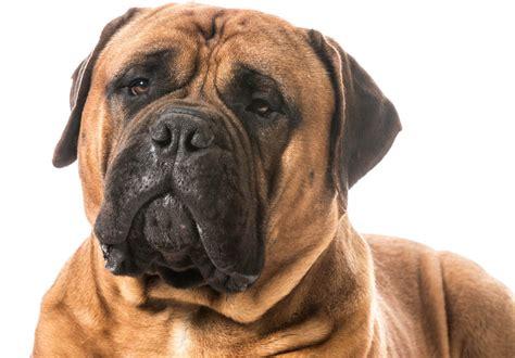 bullmastiff honden rasinformatie omlet