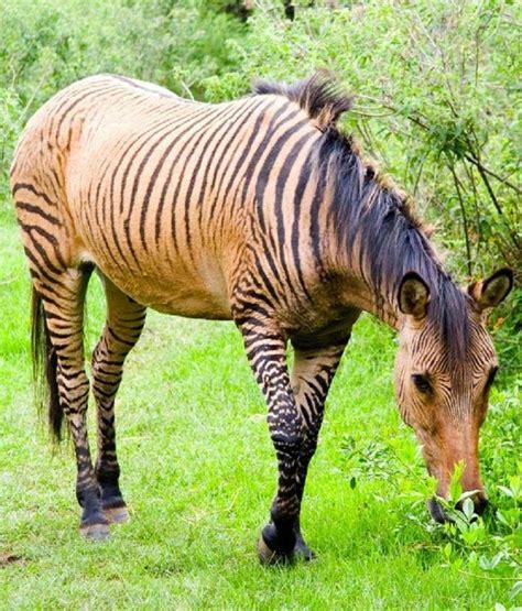 zorse zebra horse offspring animal horses