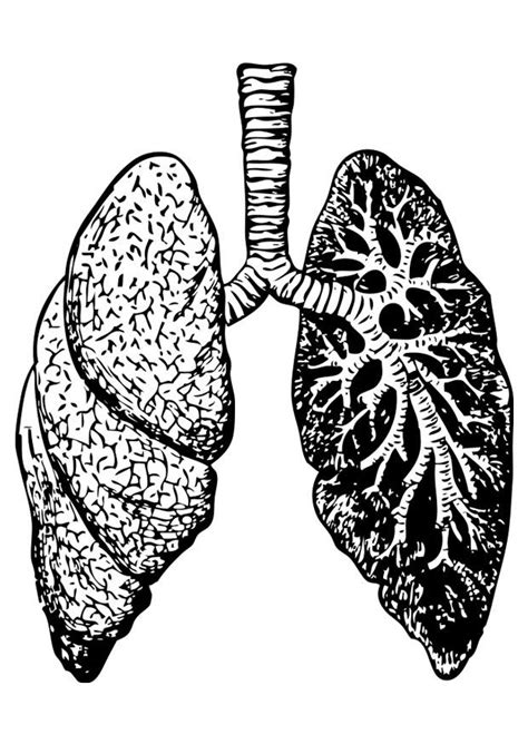 coloring page lungs  printable coloring pages