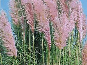 Gräser Winterhart Immergrün : cortaderia selleona rosea rosa bl hendes pampasgras gr ser pflanzen versand f r die besten ~ Frokenaadalensverden.com Haus und Dekorationen