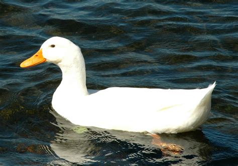 images of ducks file white duck jpg wikimedia commons