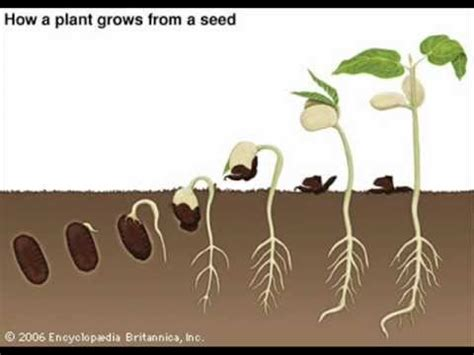 Growing Pot Plants From Seeds The Seed Germination Process