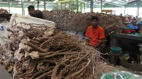 south pacific kava plant can treat anxiety according to