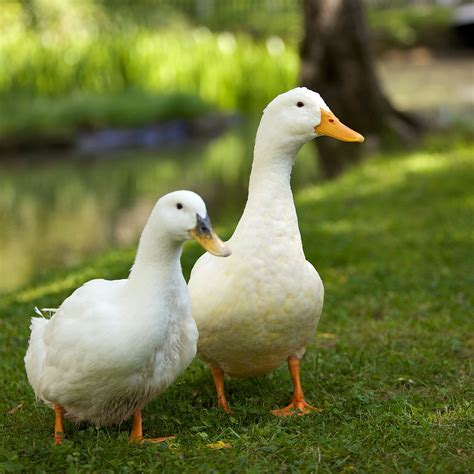 images of ducks file pair of white domesticated ducks jpg wikimedia commons