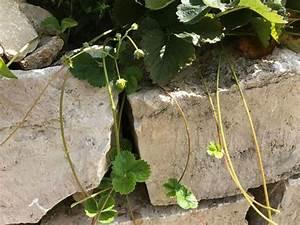 Ampelpflanzen Und Hängepflanzen Garten : erdbeeren im vertikalen garten und gem sebeet ~ Buech-reservation.com Haus und Dekorationen