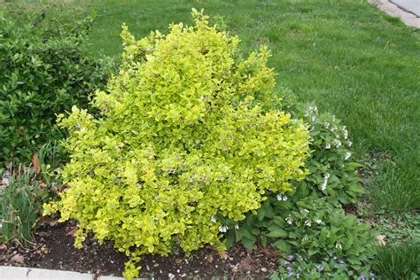 green shrubs golden euonymous donna s garden