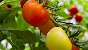 Grüne Tomaten Nachreifen : gr ne tomaten nachreifen lassen im herbst ~ Lizthompson.info Haus und Dekorationen