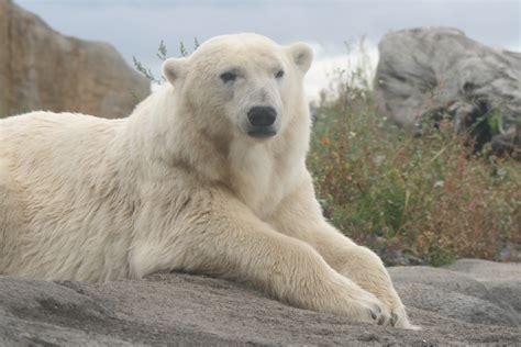 polar bear  ultra hd wallpaper  background image