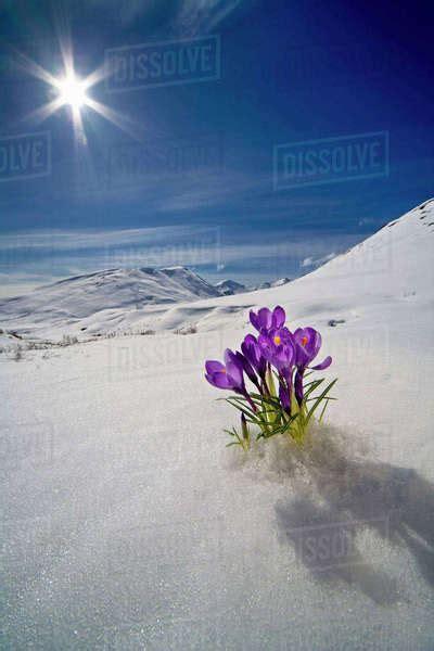 crocus flower peeking    snow  spring