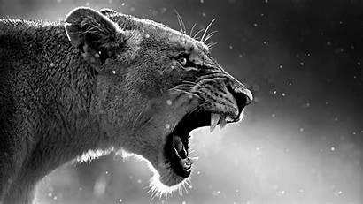 Lion 4k Roaring Wallpapers Animal Animals King