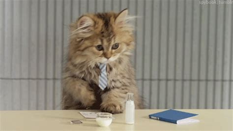 Professional Cat Gif  Find & Share On Giphy