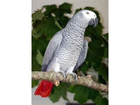 Pasari Din Rasa Papagalul Gri African (jako