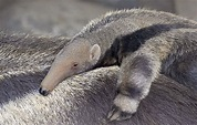 Giant Anteater | San Diego Zoo Animals & Plants