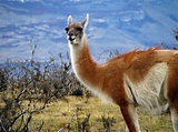 The Guanaco   The Wildlife