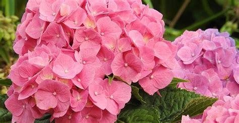 Die Pflege Von Hortensien Gartenmagazinede