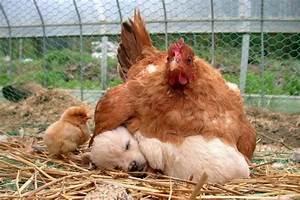 Couveuse Oeuf De Poule : poule couveuse ~ Premium-room.com Idées de Décoration
