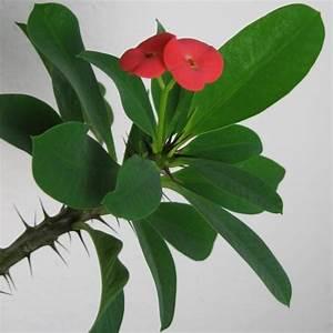 Zimmerpflanze Mit Roten Blättern : christusdorn euphorbia milii eine pflegeleichte zimmerpflanze ~ Eleganceandgraceweddings.com Haus und Dekorationen