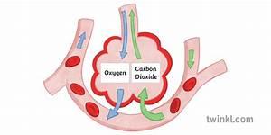 Gas Exchange In The Alveoli Science Diagram Biology Ks3