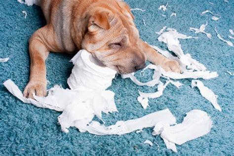 teppich auf teppich der hund pinkelt auf den teppich wer zahlt mydog365 magazin