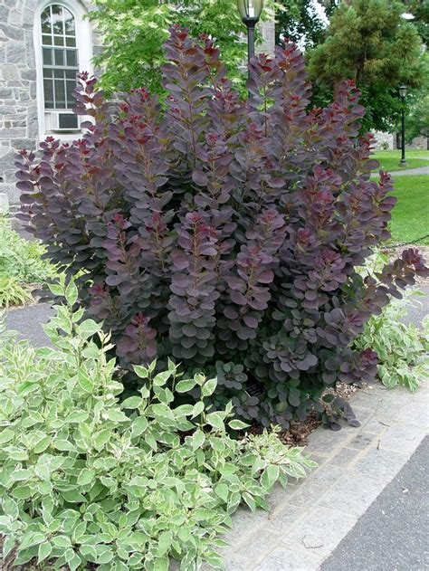 low height shrubs best 25 bushes and shrubs ideas on pinterest garden border plants perennial bushes and front