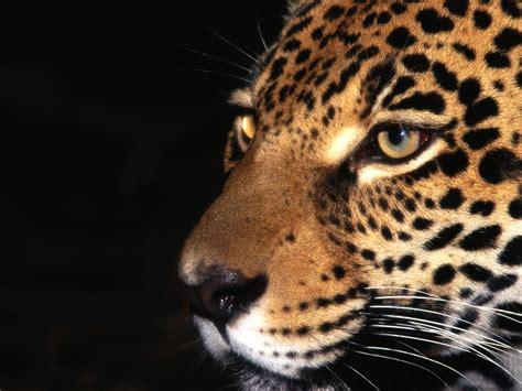 Jaguar Desktop Wallpaper by Jaguar Hd Wallpapers