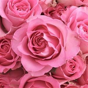 Sweet Pretty Rose : sweet unique pink rose ~ A.2002-acura-tl-radio.info Haus und Dekorationen