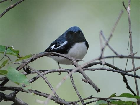 file black throated blue warbler jpg wikimedia commons