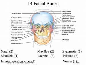 Dentistry  The Skull