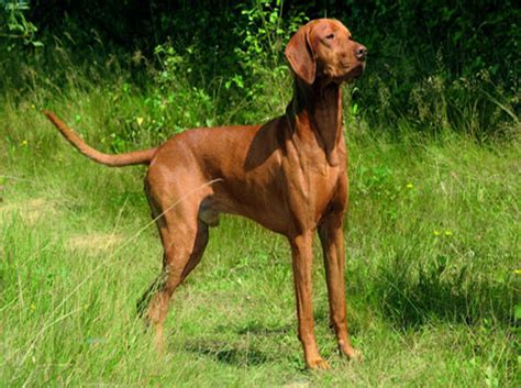 When Do Vizslas Shed Their Puppy Coat by The Vizsla Aristocratic Hungarian