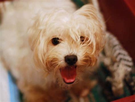 maltese haircuts bob cut puppy cut top knot