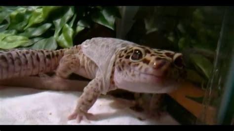 leopard gecko shedding skin leopard gecko shedding