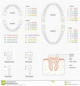 Tooth Chart  Human Teeth Stock Vector  Illustration Of