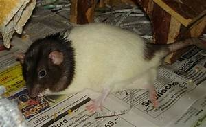 Wie Vertreibt Man Ratten : wie vertreibt man ratten ratten wenn ratten zum problem werden ratten haustiere natur planet ~ Eleganceandgraceweddings.com Haus und Dekorationen