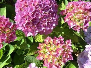 Wann Schneide Ich Hortensien : wann darf ich hortensien einpflanzen mein sch ner garten forum ~ Frokenaadalensverden.com Haus und Dekorationen