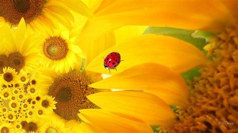 sunflower ladybug hd desktop wallpaper widescreen high
