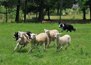 SEWE Adds Sheep Herding Dogs to Mix of Demonstrations ...