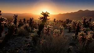 Cholla Cactus Garden At Sunrise Joshua Tree National