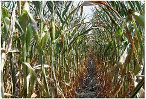 Technical Insight 344 | DROUGHT IN MAIZE SILAGE | Pioneer ...