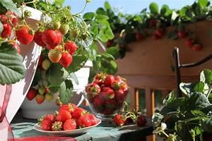 Erdbeeren Pflege Balkon : erdbeeren balkon balkon fensterbank erdbeere 39 font ~ Lizthompson.info Haus und Dekorationen