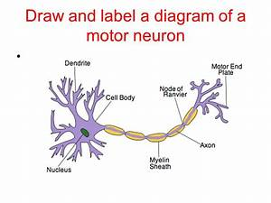 Nerves  Hormones And Homeostasis