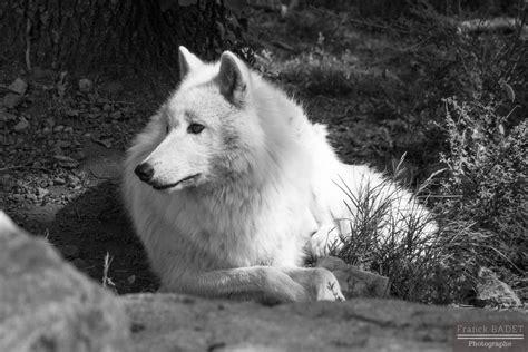 loup arctique  fiches animaux  decouvrir